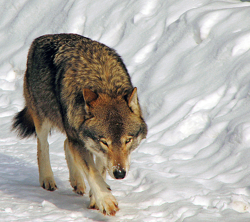 Fear makes the wolf bigger than he is - philosiblog