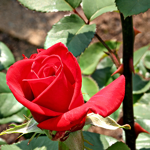some people are always grumbling because roses have thorns i am